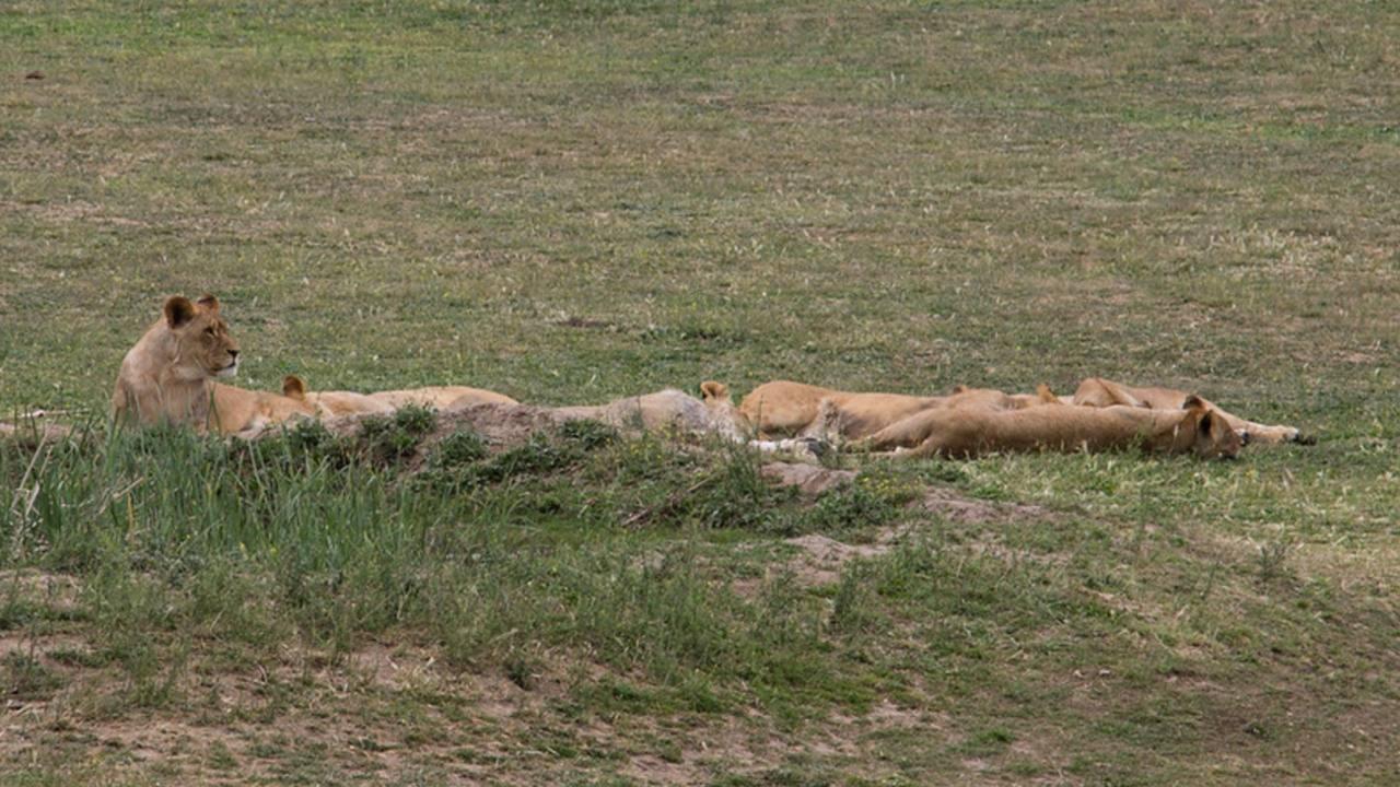 dos leonas devoran guía parque Sudáfrica