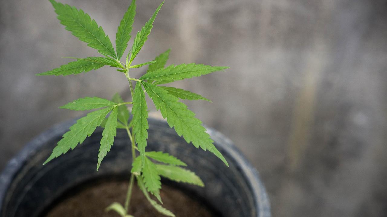 En la Comisión de Salud se discutió la legalización del consumo lúdico de cannabis