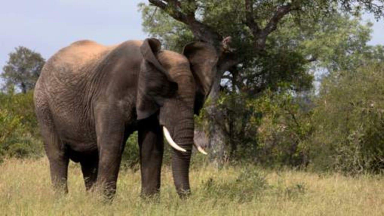 Manada de elefantes pisotea y mata a cazador ilegal