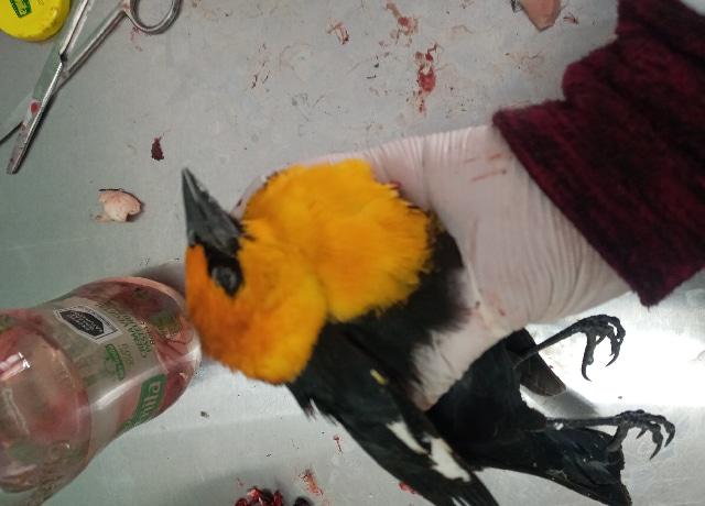 Profepa investiga la muerte de pájaros pecho amarillo en Durango
