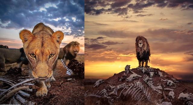 Fotógrafo británico capturó imagen de un león