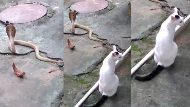 Gato se enfrenta a cobra para salvar a su dueño
