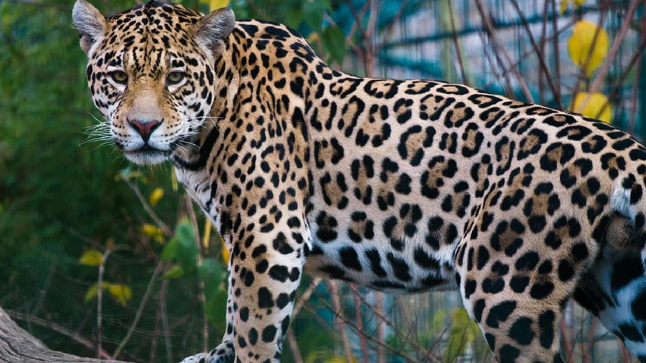Jaguar envenenado por un campesino