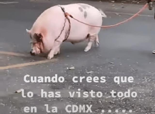 Como si fuera un perrito: Captan a joven paseando un cerdo en calles de CDMX