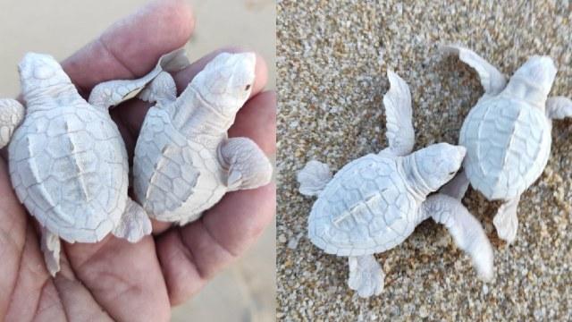 Nacieron tortugas albinas en México