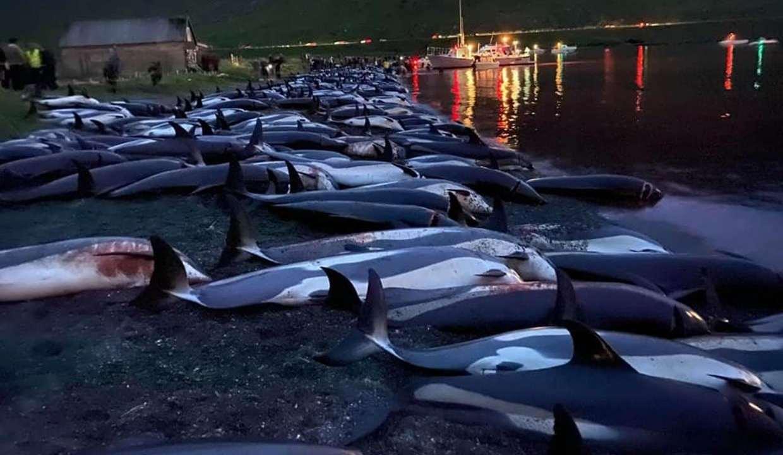 Indignación por matanza de delfines: a cuchillo sacrificaron a 1,428 ejemplares
