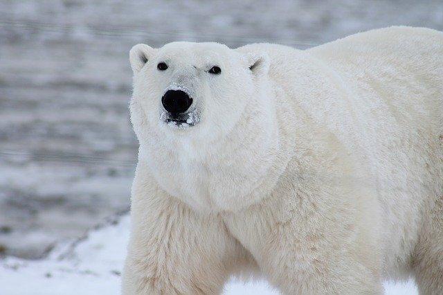 Los osos polares recurren al incesto mientras se derrite su hábitat