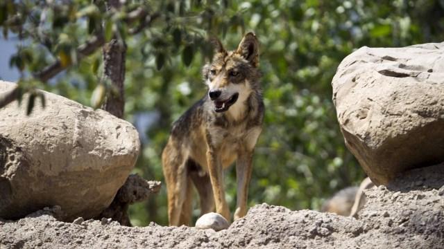 Lobo gris mexicano escapa de parque en Estado de México, ya lo buscan
