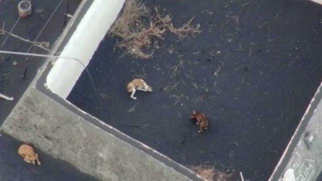 Desaparecen perritos atrapados por lava del volcán de Cumbre Vieja