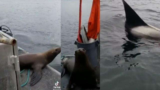 Mujer echo a un lobo marino a las orcas