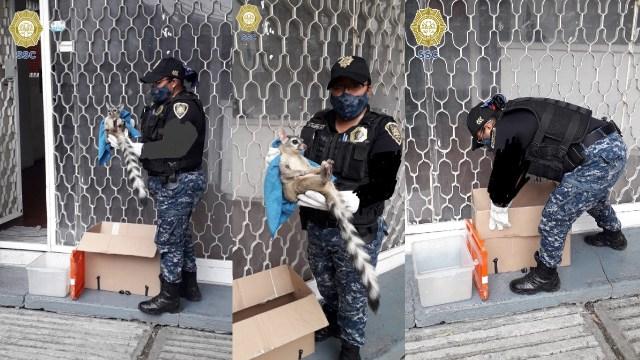 Policías rescataron cacomixtle atropellado