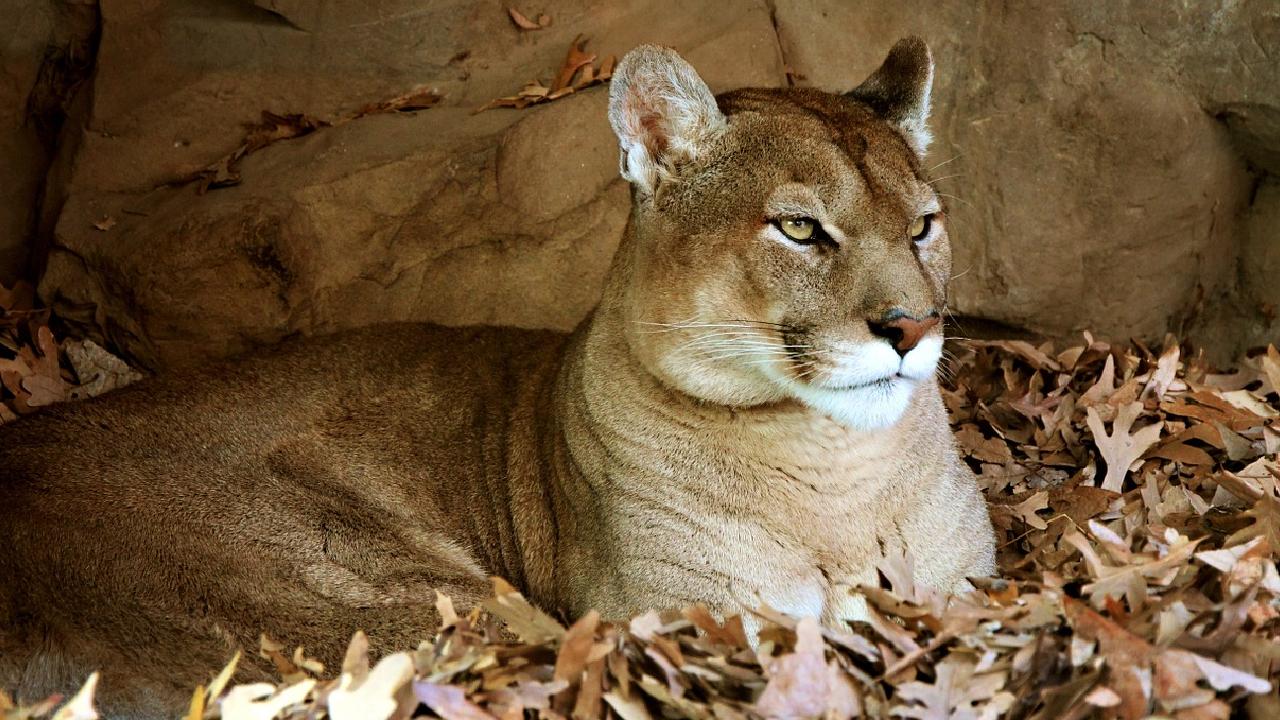 Puma cazado en Cacahoatán Chiapas