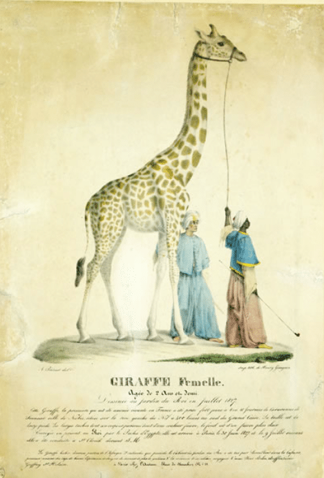 """""""Girafe femelle, âgée de 2 ans et demi, dessinée au Jardin du Roi en juillet 1827"""" A. Prévost et H. Gaugain"""