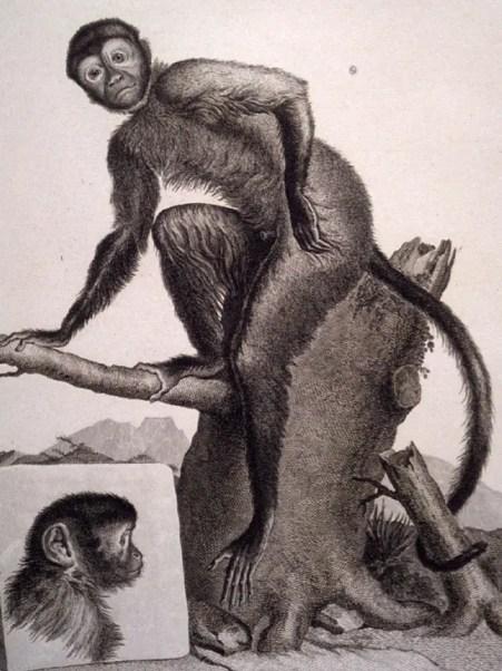 """""""Le Cajou"""", illustration de la Ménagerie du muséum par le maréchal Huet (Gallica BNF)"""