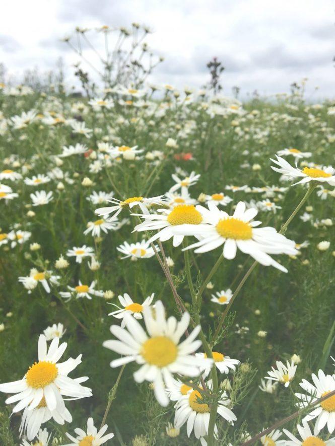 daisies field