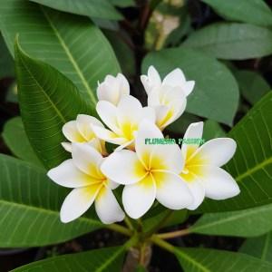 Vente de frangipanier - Plante tropicale