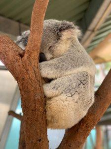 sleeping-koala-bear-on-tree-1770706