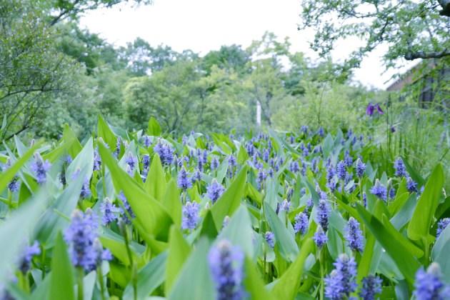 いっぱい 箱根湿生花園