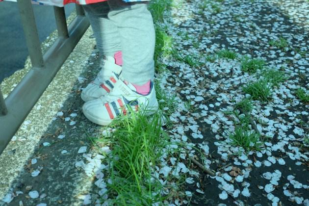 サクラの季節の終わり 散った花びら