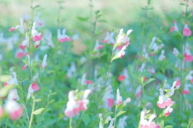 通称クリオネ_名前が分からない花