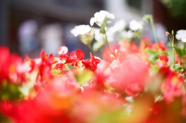 Olympus_OM-1_×_Agfa_Vista_Plus_400_キャットストリートの赤い花