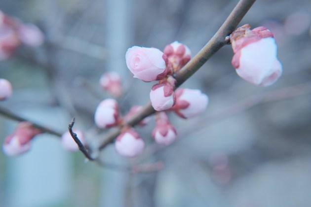 梅のつぼみ_ふんわりと