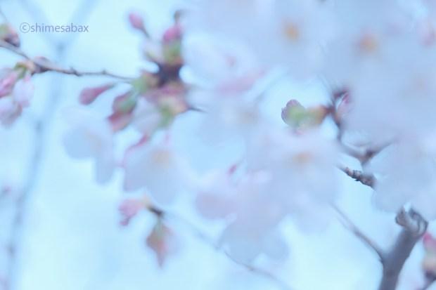 blur_サクラ