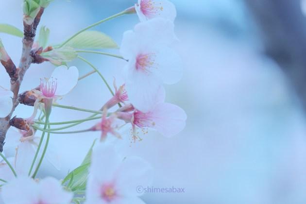 葉桜も悪くない_横浜赤レンガ倉庫近く