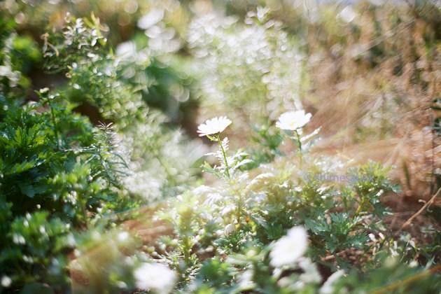 KodakPORTRA160×OM-1_オールドレンズなボケ