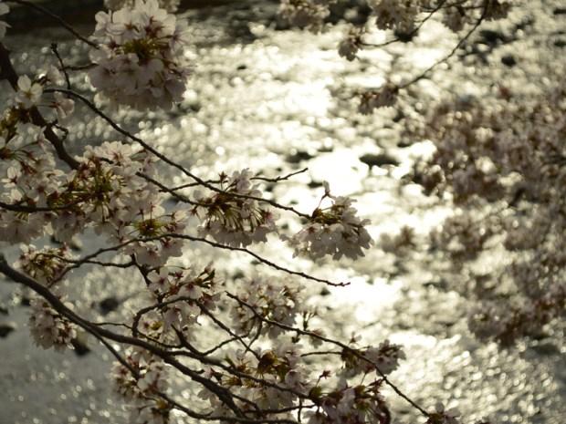 サクラの川 キラキラ光る。曇りモードで撮影