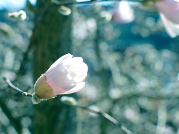 箱根湯本 こぶしの花 Photoshopで赤を弱めました