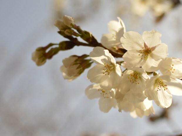 透ける花びら 逆光で