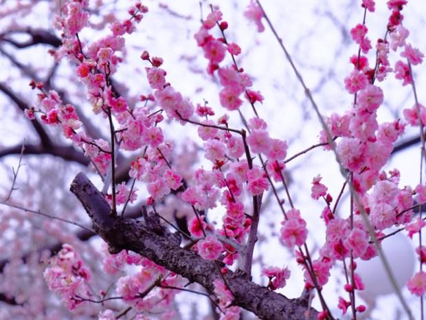 羽根木公園 梅まつり ピンクの梅 ほころんでいる
