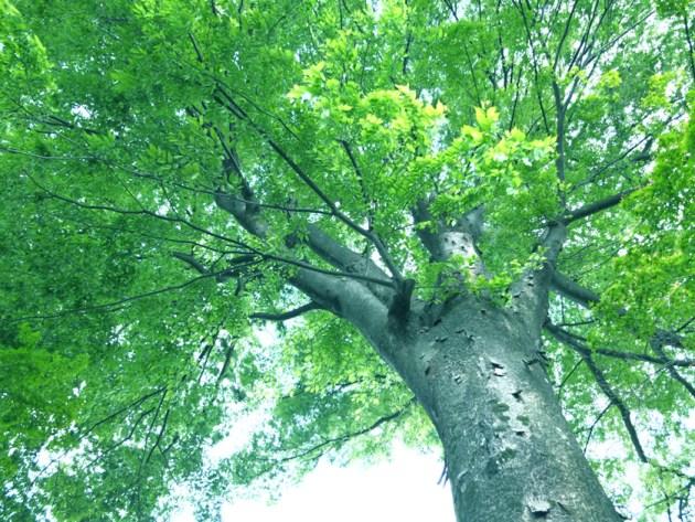 この木なんの木♪ Photoshopで緑を濃くしました