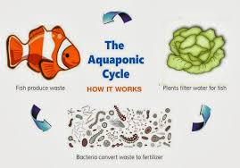 Aquaponic Fish Cycle