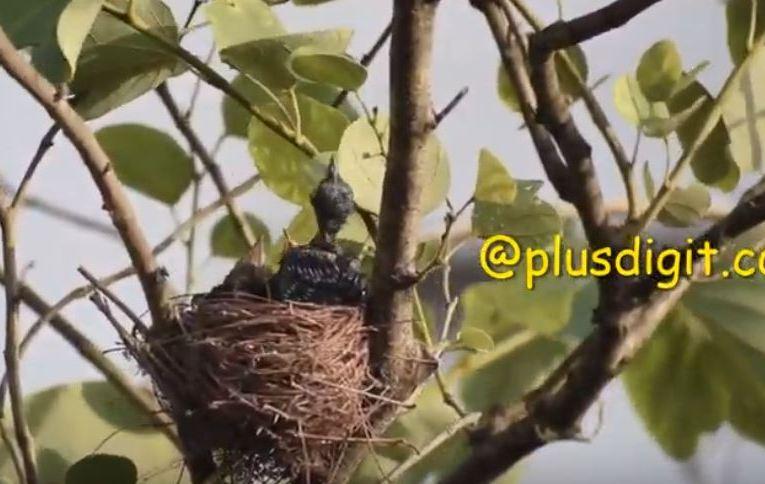 Bird Watching Bronzed drongo with babies