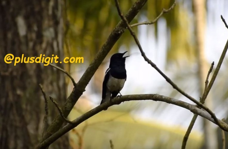 Bird Watching Oriental Magpie Robin