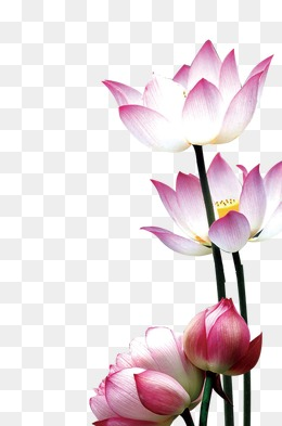 Lotus Flower PNG HD Transparent Lotus Flower HDPNG Images