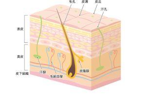コラーゲンの肌への生成と働き、潤い