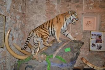 Šavlozubý tygr
