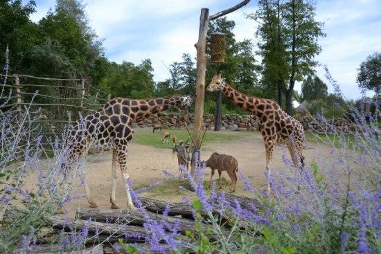 Výběh žiraf