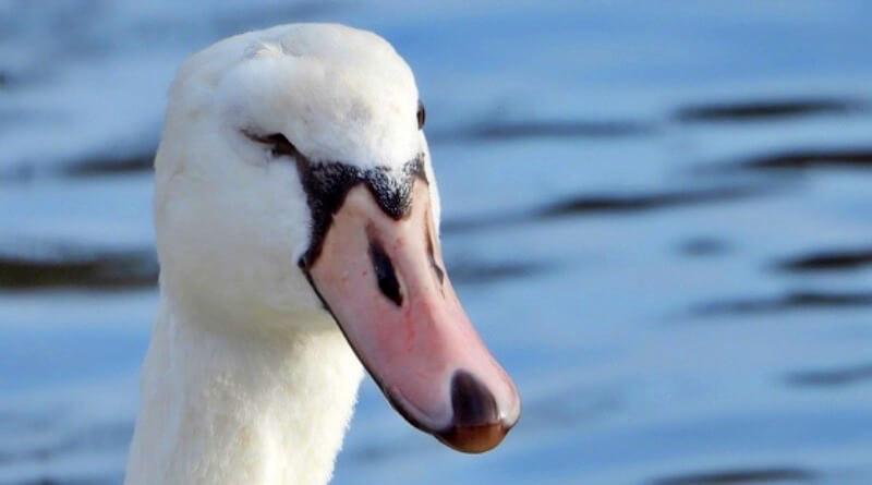 Zraněná labuť
