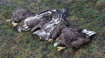Otrávení orli na Klatovsku