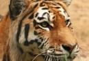 V plzeňské zoo se zabydluje nová tygřice
