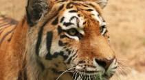 Tygřice Milashki