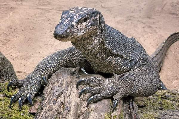 Top Ten Monitor Lizards | Wild Animals! Amino