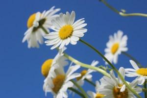 daisies-388946_1920