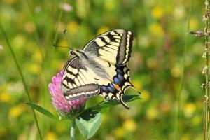 swallowtail-butterfly-364329_1280