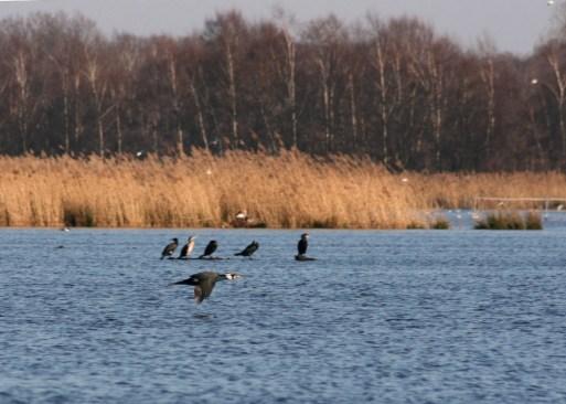 Cormorant flying above the water at Zwillbrocker Venn