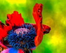 Detail picture from the papaver